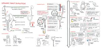 Pathophysiology Of Pyelonephritis In Flow Chart Urinary Tract Infection Armando Hasudungan