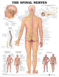 The Spinal Nerves Anatomical Chart Spinal Nerves Poster
