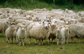Image result for pictures of sheep