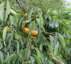 What Are Espaliered Fruit Trees  Stark Brou0027sFruit Tree Nursery North Carolina