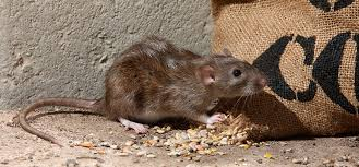 Bruine rat in de tuin