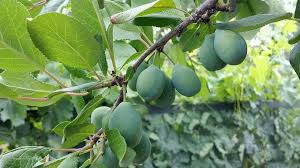 When Is The Right Time To Prune Different Fruit Trees?