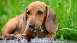 are dandelions toxic to dogs