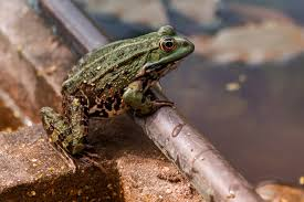 תוצאת תמונה עבור צפרדע