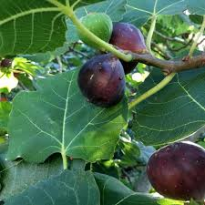 When To Expect Ripe Figs In South Louisiana Home Garden