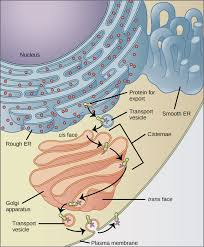 Endomembrane System Flow Chart The Endomembrane System Biology For Non Majors I