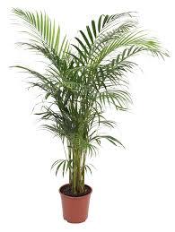 B&Q Palm Tree In Plant Pot | Departments | DIY at B&Q.