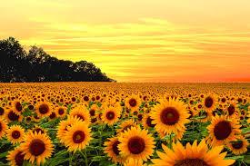 sunflower field photo wallpaper