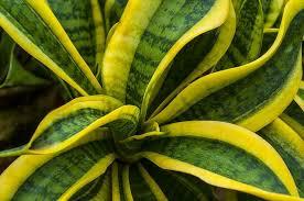 10 benefits of snake plant ten benefits