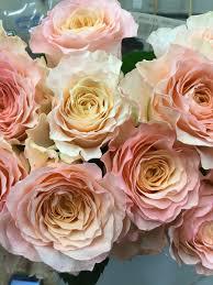 allyson garden rose
