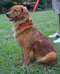 dark red golden retriever. Contemporary Retriever I Should Have Trained Him To Be An Agility Dog Because Heu0027s A Natural  Cooper Has Produced Some Gorgeous Red Goldensespecially With Our Dark Girls And Dark Red Golden Retriever