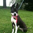Boston terrier mix pictures
