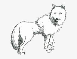 302x255 how to draw a gray wolf, timber wolf step 10 how to draw. Prometheus Drawing White Wolf Sketch Of An Arctic Wolf Free Transparent Png Download Pngkey