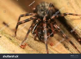 Cybaeus Spider Found Pacific Northwest Stock Photo Edit Now