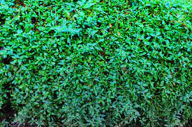 Ivy Green Wallpaper Stock Photo ...