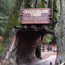 chandelier drive through tree great facts
