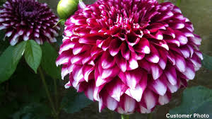average american flower size growing dahlias its easy