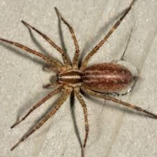 Spiders In Wisconsin Species Pictures