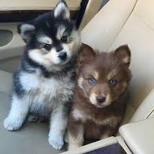 cute puppies with blue eyes. Contemporary Eyes Blue Eyes Inside Cute Puppies With Eyes U