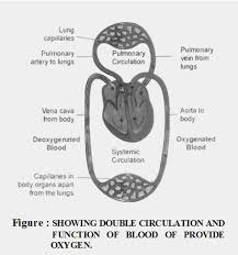 Double Circulation Flow Chart Describe Double Circulation In Human Beings A Plus Topper