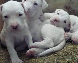 pitbull dog puppies white. Unique Pitbull Pictures Of White Pit Bulls Intended Pitbull Dog Puppies B