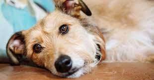 3 Dấu Hiệu Chó Bị Bệnh Cần Cảnh Giác