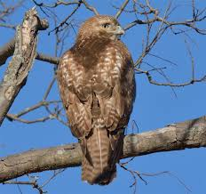 What Is A Hawk Light Red Tailed Hawk Hawk Mountain Sanctuary Learn Visit Join