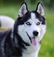 really cute baby husky puppies with blue eyes. Wonderful Blue Pictures Of Huskies With Blue Eyes To Really Cute Baby Husky Puppies With Blue Eyes U
