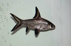 Bala Shark Care Size Lifespan Tankmates Breeding