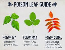 Identification Chart For Leaves Hotsticks Oak Leaf Identification