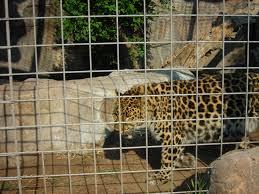 jaguar at lee richardson zoo garden city ks