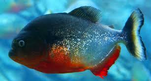 amazon river piranha. Modren Amazon Amazon River Piranha Fish  Photo6 Throughout River Piranha