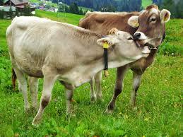2l milking vacuum pump milk machine pulse goat sheep cow electric barrel