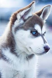 cute husky puppies with blue eyes wallpaper. Interesting With Husky Une Race De Chien Aux Yeux Magnifique With Cute Puppies Blue Eyes Wallpaper I