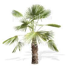Palmier D Tour Pour Photoshop Ou Sketchup Exotiques Plantes Png
