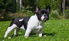 black and white french bulldog. Interesting French Black And White French Bulldog For And White