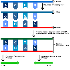 Dna Sequence Chart Ests