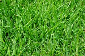 grass.  Grass Grass Rush Juicy Green Blades Of Halme In Grass F