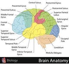 United Inches Framing Chart Amazon Com Human Brain Anatomy Regions Labeled Educational