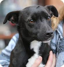 jack russell terrier mix black. Beautiful Mix Adopted In Jack Russell Terrier Mix Black A