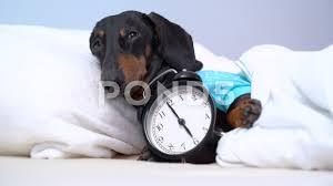 Black and tan dog breed dachshund sleep ...