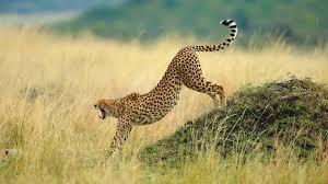 cheetah wallpaper hd 50 images on genchi info