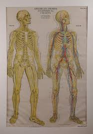 American Frohse Anatomical Charts Key American Frohse Anatomical Charts The Nervous System And Th