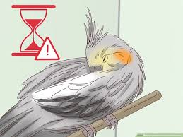 Cockatiel Chart How To Understand Cockatiel Gestures With Pictures Wikihow