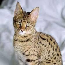 savannah kittens for
