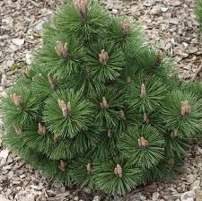 Small Picture 291 best images on Pinterest Shrubs Evergreen and