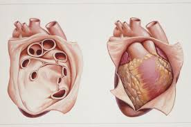 pericardial sac pericardium anatomy and function