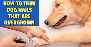 how to trim dog nails that are