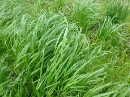 garden cover crop. Annual Ryegrass Garden Cover Crop A