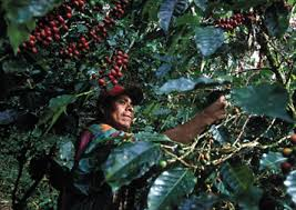 Many species, including gladiolus, freesia, ixia, and sparaxis are the source of common hybrids in the united states. The Problem With Fair Trade Coffee